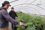 Seth Crawford of Oregon CBD is breeding plants to grow in different climates.