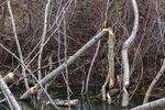 Pohon yang digerogoti di Sungai Umatilla adalah bukti keberadaan berang-berang. Beberapa pemilik tanah menganggap berang-berang sebagai gangguan karena hewan pengerat air menebang pohon dan menghalangi aliran air. Tetapi ahli biologi mengatakan bahwa tanpa spesies batu kunci ini, ekosistem akan terurai.