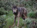 A wolf collared by Oregon Department of Fish and Wildlife in 2009. Radio collars allow the state to track the location of known wolves. Wolves with radio collars are not typically eligible for lethal removal.