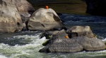 Each October, pumpkins appear on rocks in the rapids of the Rogue River.