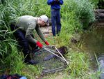 A beaver is released back into the water,