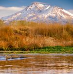 A salmon swims near a redd, or nest, with Mount Shasta in the background. A Washington State University researcher has found that the mating habits of salmon can alter the profile of stream beds, affecting the evolution of an entire watershed.
