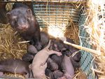 A mink and her kits. The Oregon Department of Agriculture is requiring mink ranchers to vaccinate their animals against COVID-19 this summer.