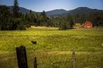 A lone bull pauses from munching deep grass on a massive 1,100-plus acre ranch outside of Rathdrum, Idaho. This verdant jewel is part of the vast Easterday family empire. The family is under intense pressure now. Cody Easterday is facing federal fraud charges from a massive cattle swindle, and two of the family's major businesses are embroiled in federal bankruptcy.