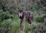 Oregon's first radio-collared wolf is pictured here just after its release on May 3, 2009.