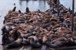 The sea lion count in Astoria's East Mooring Basin this spring was a record 2,340, shattering last year's record 1,420.