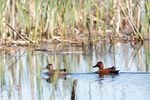 A pair of cinnamon teal swim on the surface of a pond at Santiam Valley Ranch in Turner, Ore., Thursday, April 15, 2021. The aqua farm looks, feels and functions as wetland habitat for migratory birds.