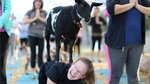 A goat stands on the back of a participant during a Goat Yoga class Friday, Oct. 27, 2017.