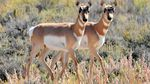 A pair of twin pronghorn fawns, brother and sister, on Seedskadee National Wildlife Refuge, Sept. 24, 2019. Brother on the left and sister on the right.