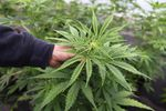 Oregon still struggles with regulating medical marijuana, almost 20 years after it was legalized.