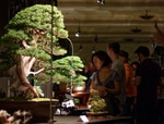 Organized by Ryan Neil, the Artisans Cup showcased 70 bonsai trees at the Portland Art Museum to try to elevate bonsai into the world of high art.