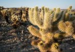 Cholla cactus, as seen here in California's Joshua Tree National Park, is a staple in some Native American food traditions.