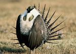 A male great western sage grouse.