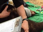 Biologists inspect Cinder the Bear's healed wounds.