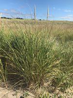 Beachgrass growing from sandy terrain.