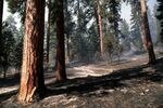A thinned ponderosa pine stand treated with prescribed fire in the Ochoco National Forest on Sept. 9, 1995.