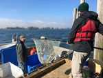 Hatchery fish are harvested one at a time in an experimental version of a fish trap on the Columbia River.