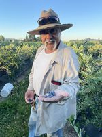 A man stands in a blueberry field holding berries in the palm of his outstretched left hand.