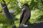 An adult Cooper's hawk. (AP Photo/Wilfredo Lee)