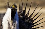 A male greater sage grouse is pictured in an April 21, 2012, file photo. The Trump administration plans to lessen protections on the bosomy bird to allow for more drilling, mining and grazing on public lands.