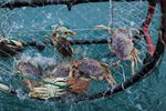 Dungeness crab caught in crab pot off of Port Orford, Ore., on May 13, 2018.