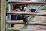 A black goat pokes its head out of the barn gate at the Busenius goat farm.
