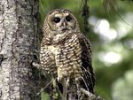 In this May 8, 2003, file photo, a northern spotted owl sits on a tree branch in the Deschutes National Forest near Camp Sherman, Ore. The Trump administration cut the threatened owl's critical habitat protections by 3.4 million acres.