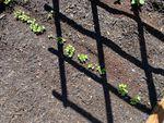Salad greens growing in a backyard garden in Southeast Portland.