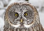 The rings of feathers around the owl's eyes scoop in sound like radar dishes.