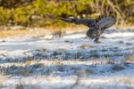 A Great Grey Owl swoops in to catch its prey.