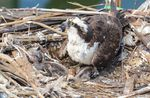 An osprey crouches over two chicks and an unhatched egg.