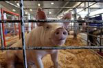 The Oregon State Fair doesn't have enough room for all the animals shown over 10 days its in operation, so livestock is rotated about seven times.
