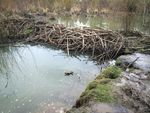 A beaver dam on Fanno Creek has caused water to back up in Greenway Park.