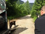 WDFW biologist Ben Maletzke helps release Cinder the Bear into the wild.
