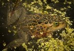An Oregon spotted frog floats in an irrigation canal in this photo from July 27, 2016.
