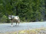 Remote camera photo of OR7 captured on May 3, 2014, in eastern Jackson County on USFS land.