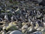 Penguins returning from a day of foraging on Hornos Island. Scientists think their guano provides nutrients for the world's southernmost trees.