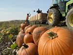 Crews throw pumpkins onto a tractor and trailer from the field on the Cox farm outside of Kennewick, Washington. A proposed reservoir from the Kennewick Irrigation District would flood the farm. The Cox family isn't interested in selling.