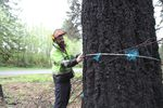 Rick Till, a certified arborist with hazard tree assessment qualifications, examines a large Douglas fir tree that has been marked for removal along Highway 22 near Gates, 2021.