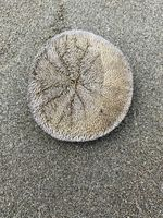 Sand dollars washed ashore in Seaside, Ore., will die if they cannot get back to the ocean.
