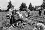 """Residents tend to a strawberry patch in a Portland, Ore., """"Victory Garden"""" in 1946."""