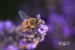 Honey produced by these bees has a distinct lavender aroma and subtle taste
