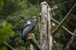 Condor No. 91, Kaweah, is one of the three California condors on exhibit at the Oregon Zoo.