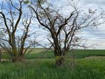 Old, gnarled trees watch over crops near Goose Gap Farm, an Easterday property that is up for sale as part of a bankruptcy auction.