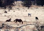 Wild horses graze on the Warm Springs reservation in Central Oregon.