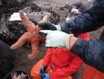 Oregon State University researcher Laurel Field holds an ochre sea star before it is measured and weighed.