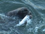 New research suggests sea lions are eating more salmon in the Columbia River than previously thought.