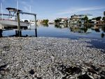 Thousands of dead fish float in the Boca Ciega Bay located near the mouth of Madeira Beach on July 21 in Madeira Beach, Fla. Red tide, which is formed by a type of bacteria, has killed several tons of marine life in Florida so far this year.