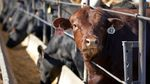 Several cattle with tags on their ears occupy a feedlot.