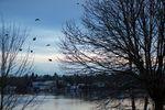 Crows fly north toward downtown Portland, Oregon, Thursday, Jan. 3, 2019.